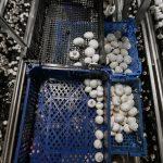 Китайские инвесторы планируют построить в Подмосковье завод по переработке грибов