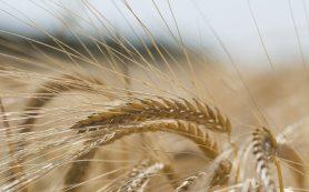 Минсельхоз спрогнозировал снижение цен на зерно внутри России